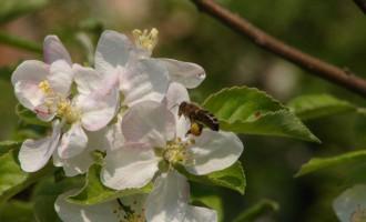 včela-na-jabloni.jpg