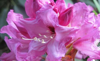Rododendron-detail.jpg