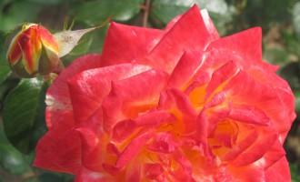 ruža10.jpg